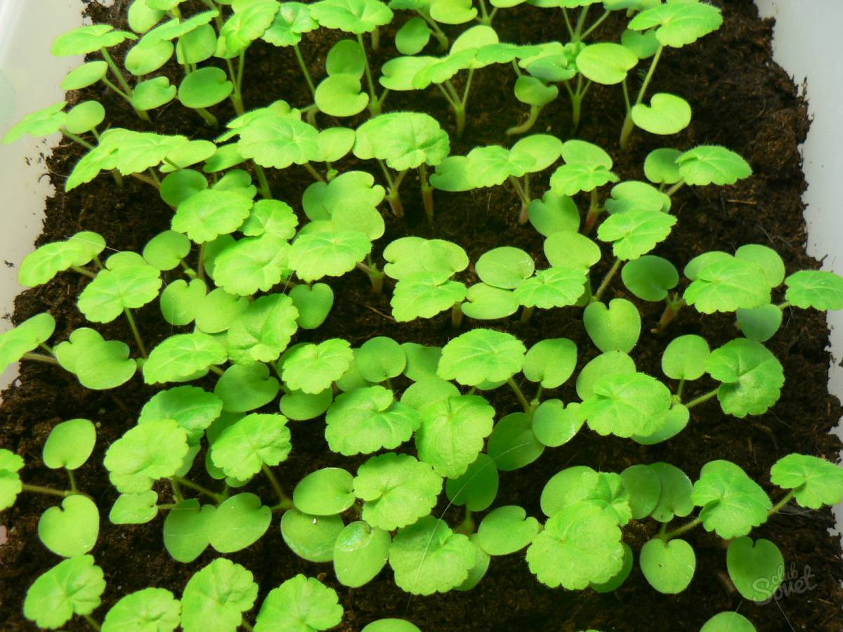 Посадка герани в горшок: как вырастить цветок из отростка без корней