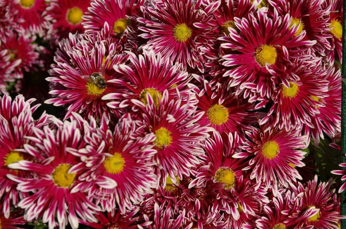 Кустовые хризантемы: шаровидные, садовые многолетние сорта, низкорослые