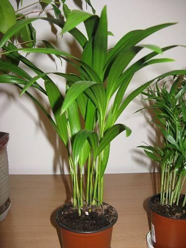 Арека (бетелевая пальма)