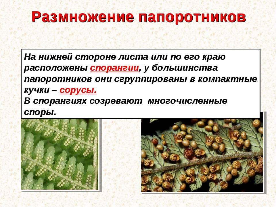 Обзор 3 способов размножения папоротников