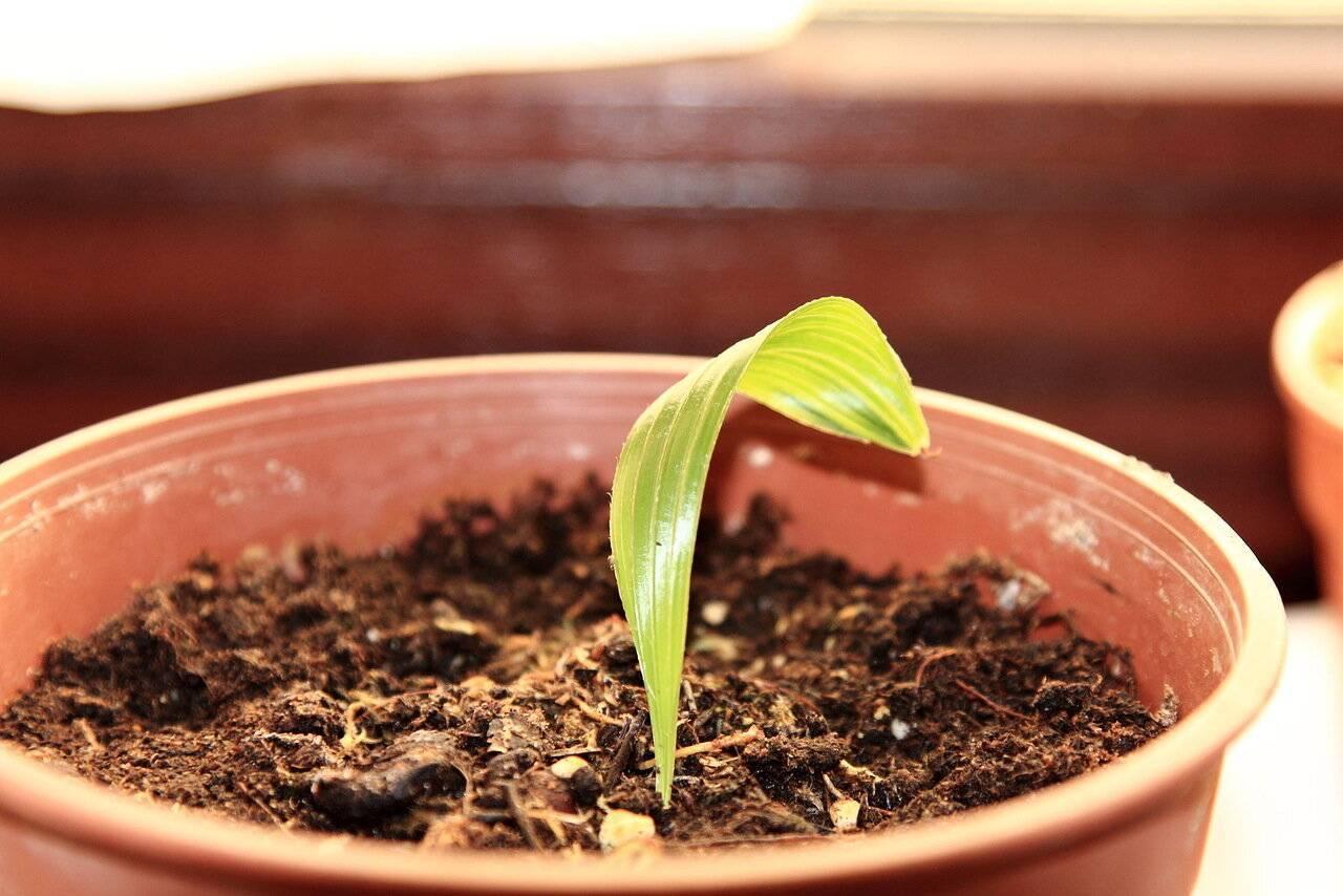 Выращивание кротона дома: как посадить, ухаживать, удобрять, размножать, поливать
