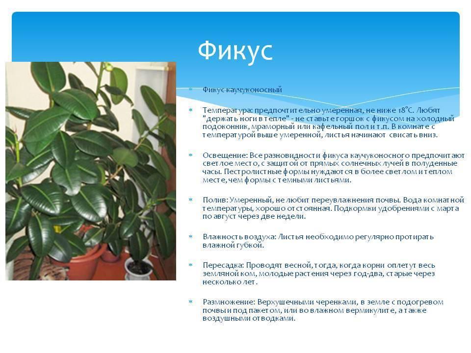 Цветок мирт в домашних условиях: рекомендации по уходу и выращиванию, фото