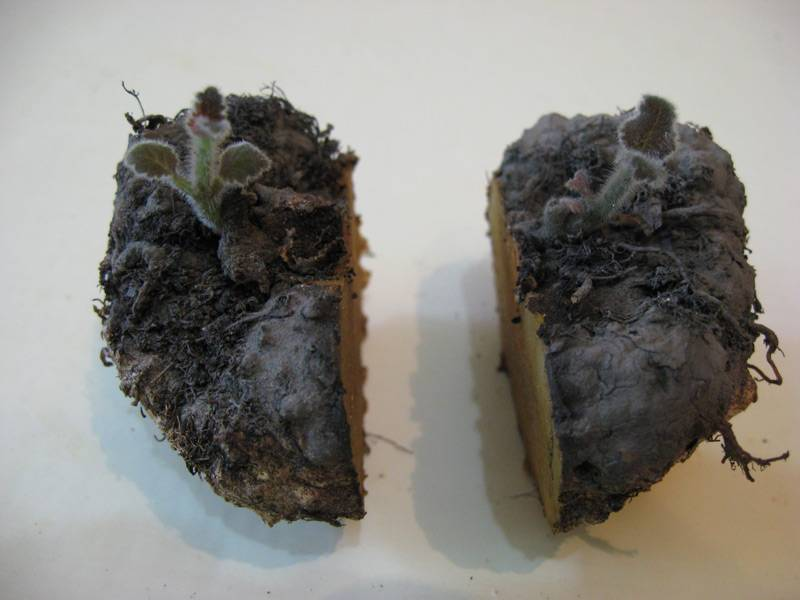 Глоксиния: посадка, уход и выращивание в домашних условиях семян и клубней или как правильно сажать такой комнатный цветок, как синнингия гибридная