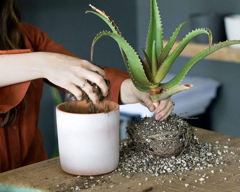 Араукария уход в домашних условиях размножение полив ель черенок грунт для араукарии