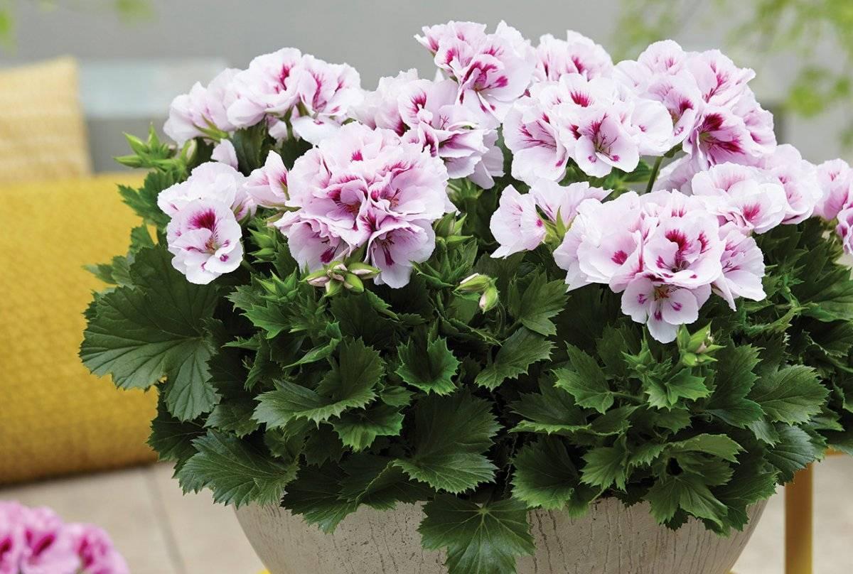 Пеларгония Грандифлора — уход за цветком в домашних условиях