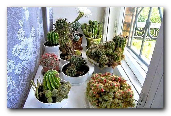 Можно ли держать кактусы в квартире