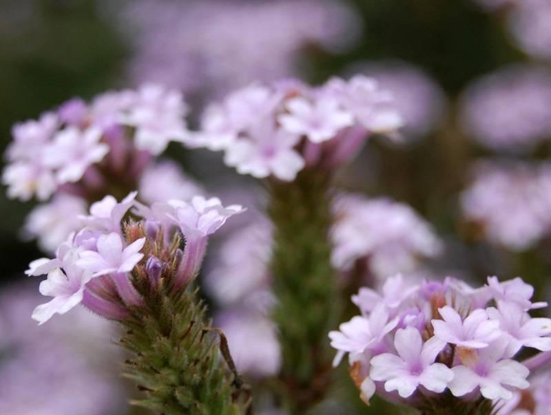 Вербена: выращивание из семян и размножение черенками, как это сделать в домашних условиях и как выглядит на фото?