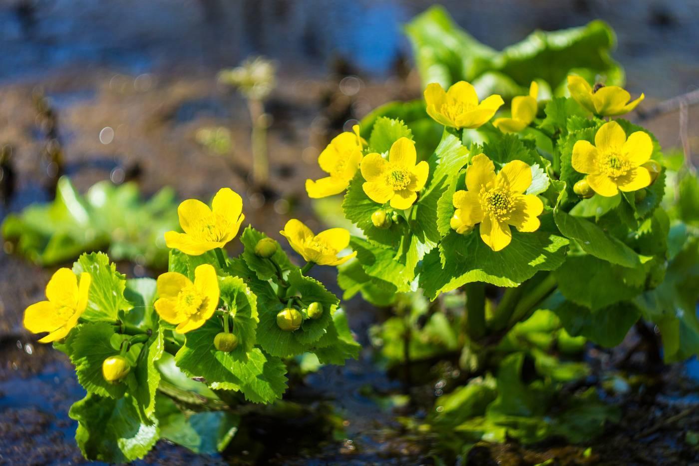 Виды мяты — полевая, котовник лимонный,  болотная