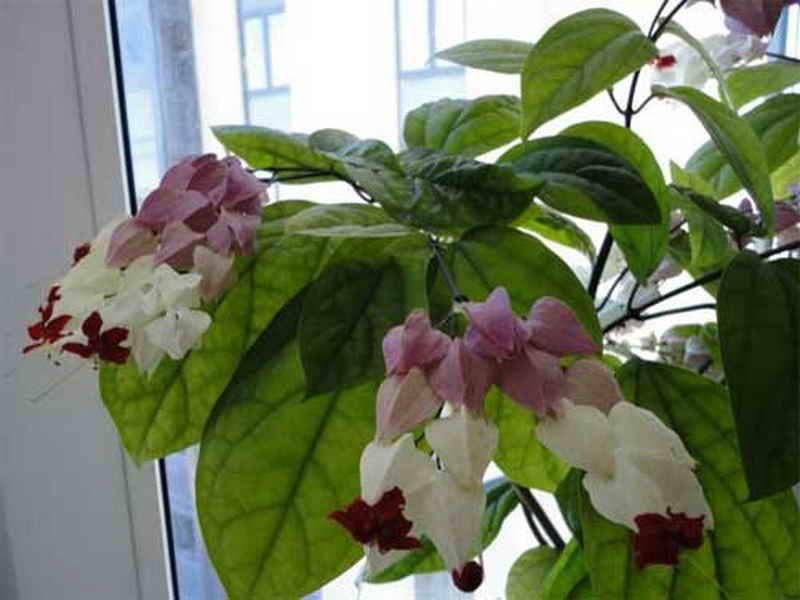 Клеродендрум: особенности, правила посадки, ухода и размножения