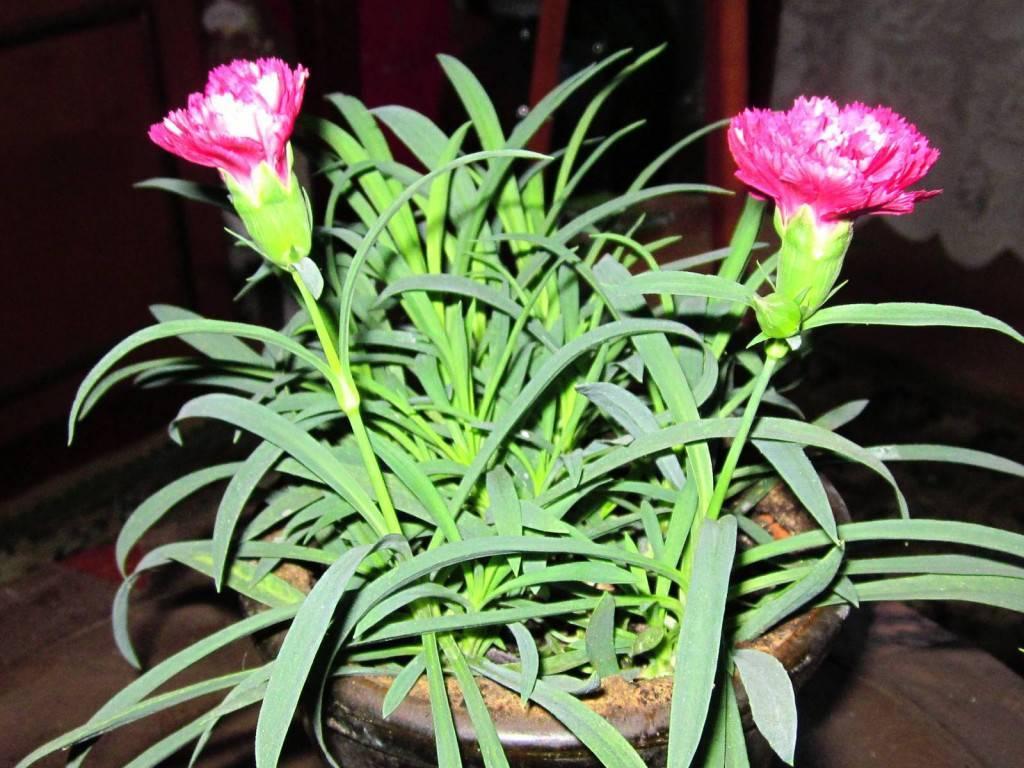 Гвоздика из семян (13 фото): когда сеять? как правильно собирать семена? выращивание рассады в домашних условиях