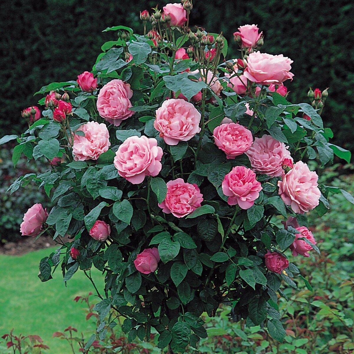 обои если роза розовое дерево фото и описание хотите