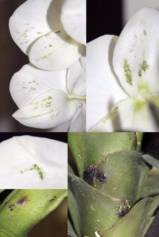Описание болезней и вредителей калатеи: желтеют и сохнут листья по краям