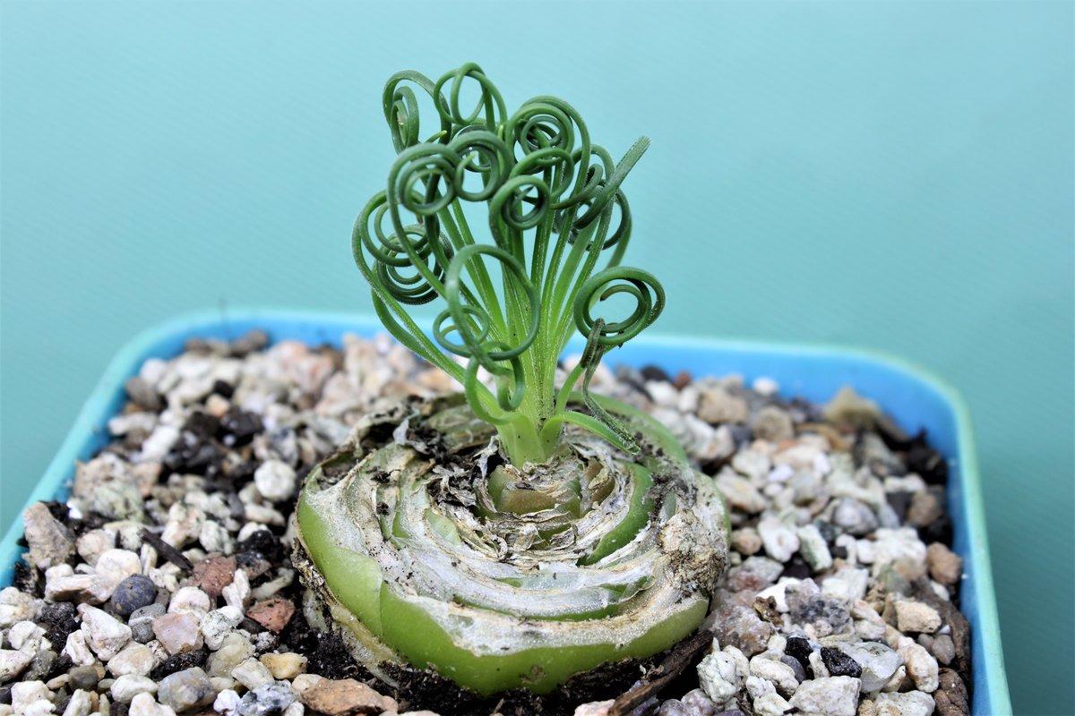 Альбука спиральная: выращиваем удивительный цветок в дома