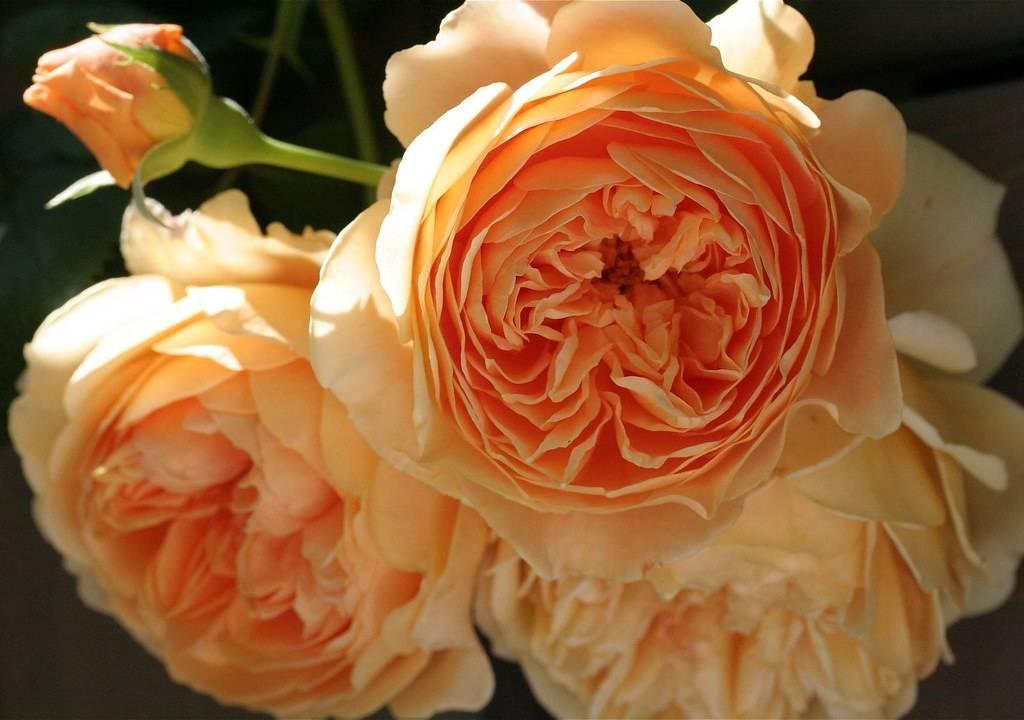 Роза плетистая принцесса маргарет (2178): купить саженцы почтой в россии