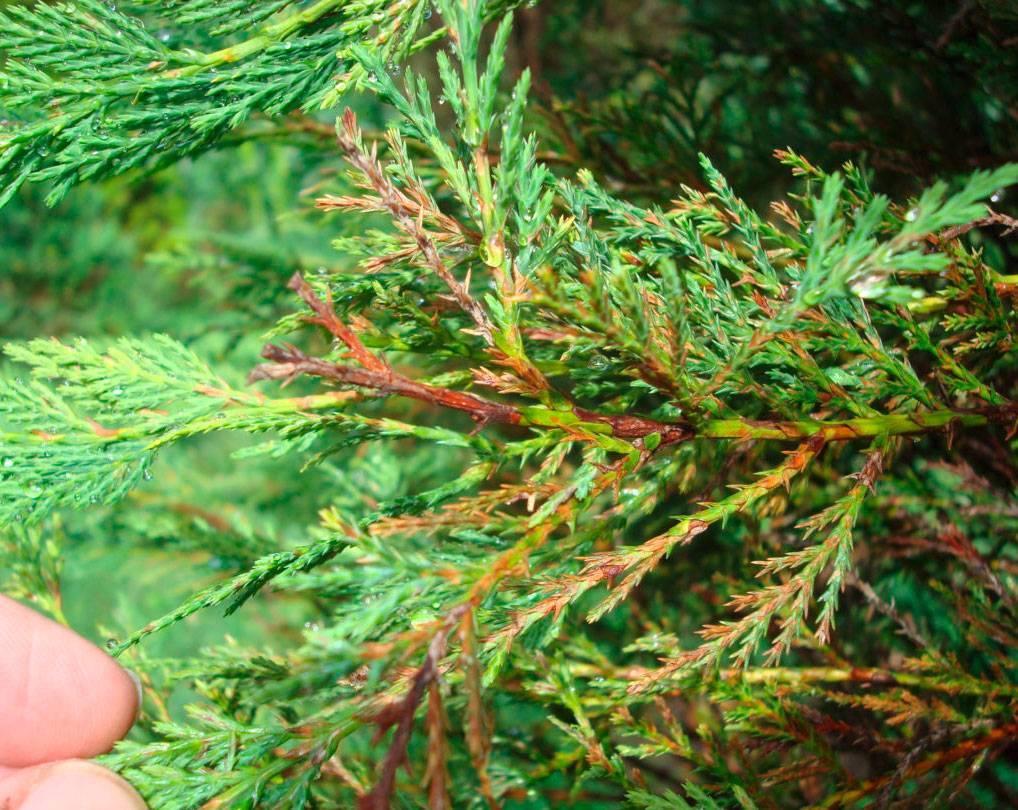 Виды и сорта туи: 5 шагов по размножению черенками и 3 совета по уходу