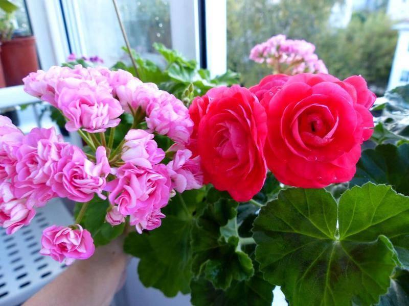 Выращивание пеларгонии фишер аплеблоссом в домашних условиях, как ухаживать