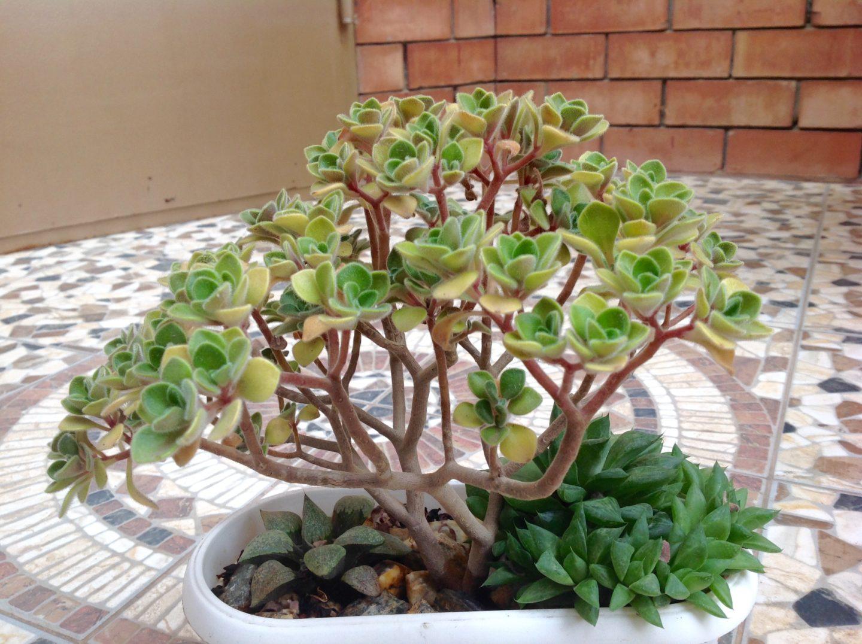 Аихризон – дерево любви: уход в домашних условиях, приметы