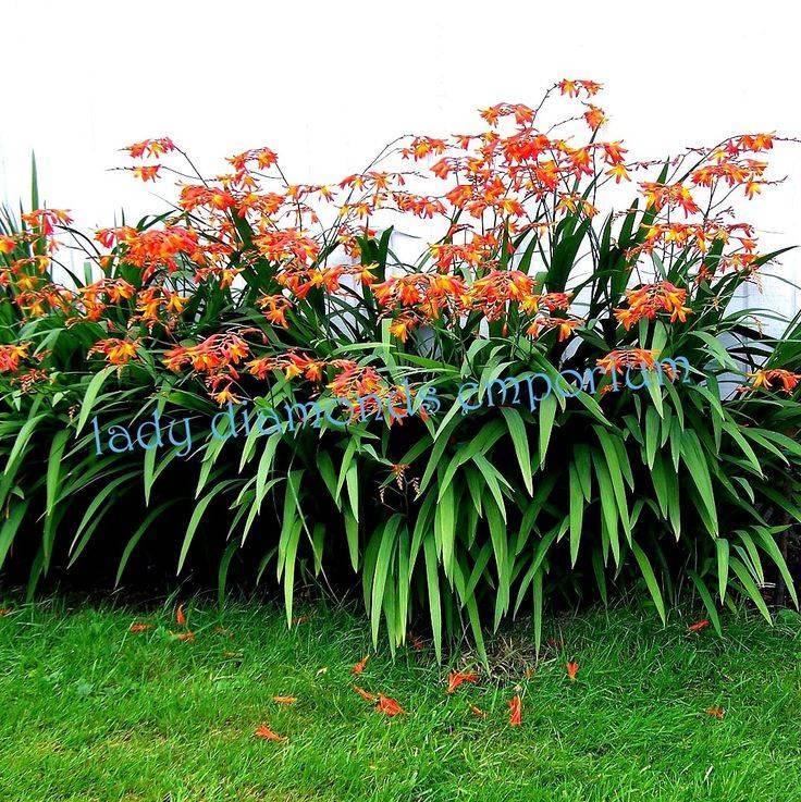 Выращивать крокосмию в открытом грунте легко и просто