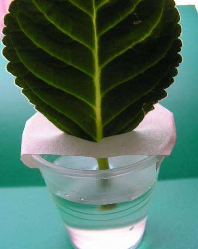 Можно ли из листа посадить глоксинию и как это сделать?