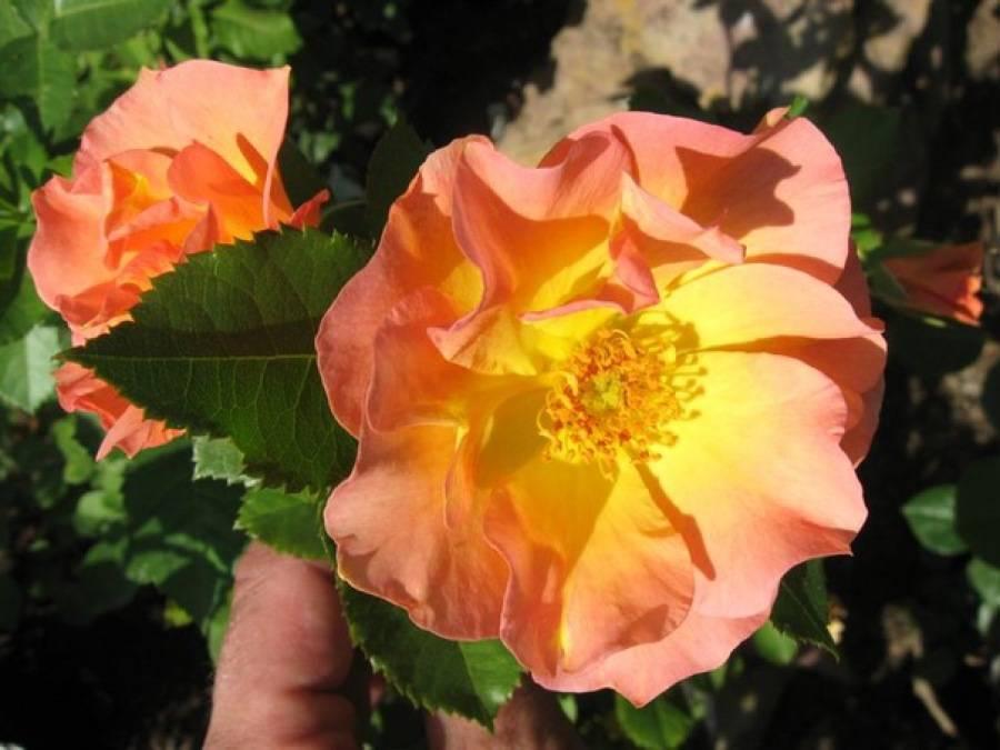 Канадские розы: описание, полная информация о разновидностях, фото