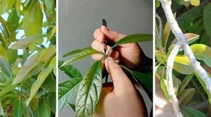 Как ухаживать за авокадо — растение в домашних условиях
