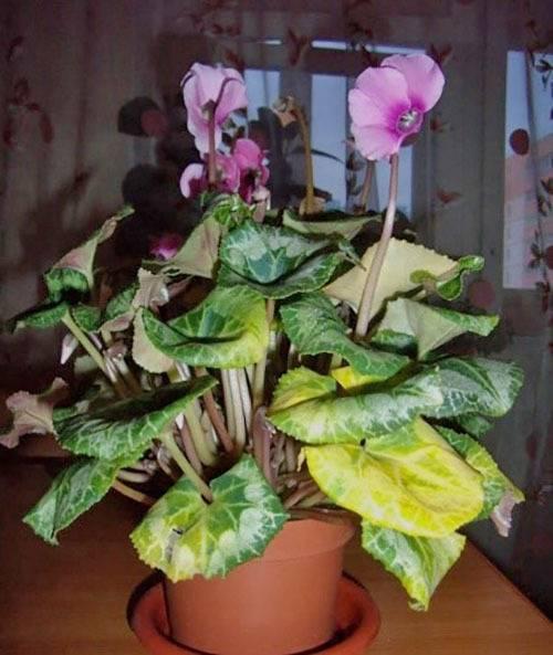 Желтеют и сохнут листья у цикламена — что делать