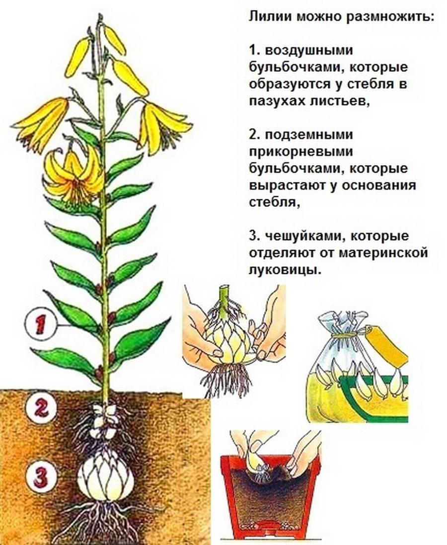 Мшанка шиловидная: описание и сорта, посадка и уход