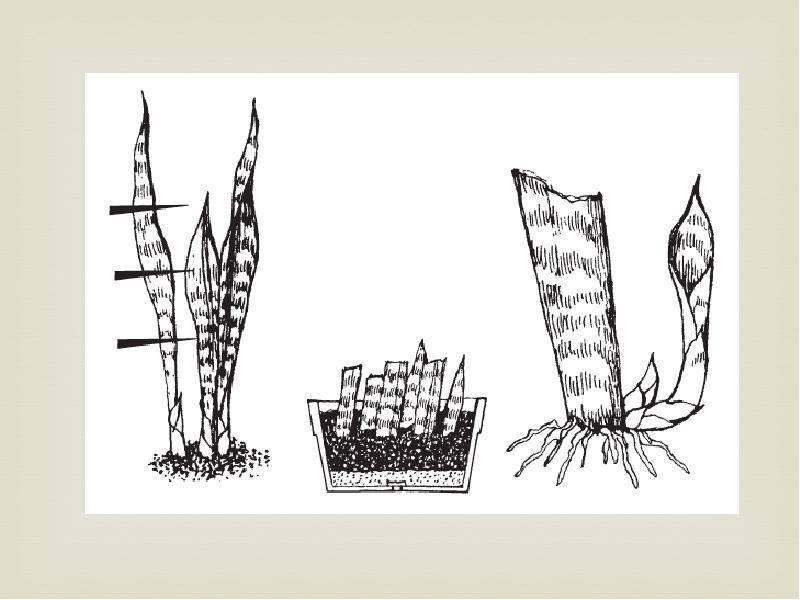 Особенности размножения хосты