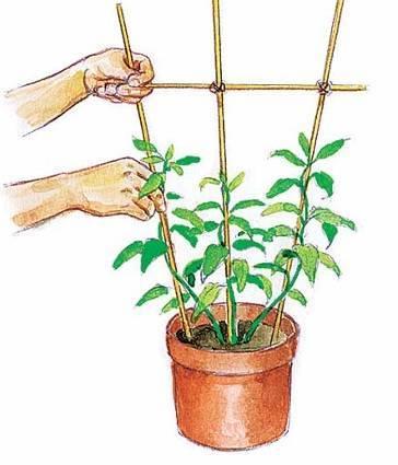 Фуксия выращивание и уход в домашних условиях
