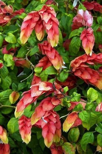 Белопероне — идеальное растение для комнатного содержания. уход и размножение в домашних условиях
