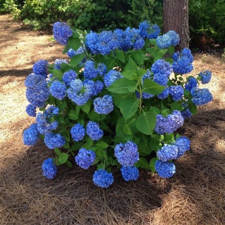 Hydrangea macr nikko blue