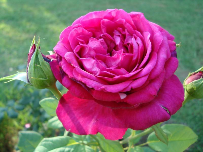 Правильный уход за розой гете