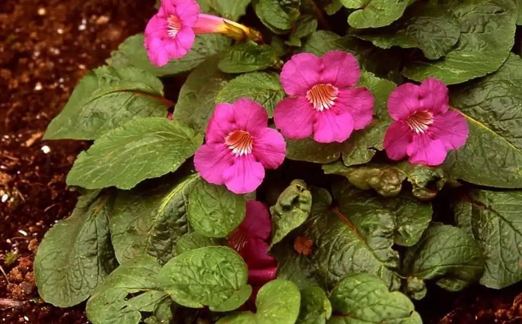 Инкарвиллея: описание и уход за растением