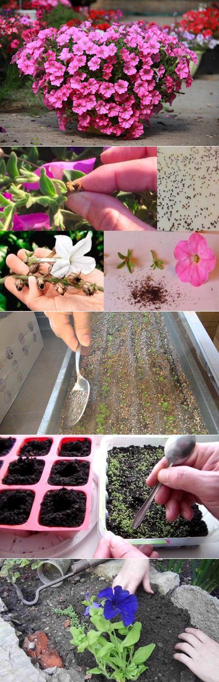 Все о выращивании петуний: посадка в открытый грунт, уход за цветком во время цветения