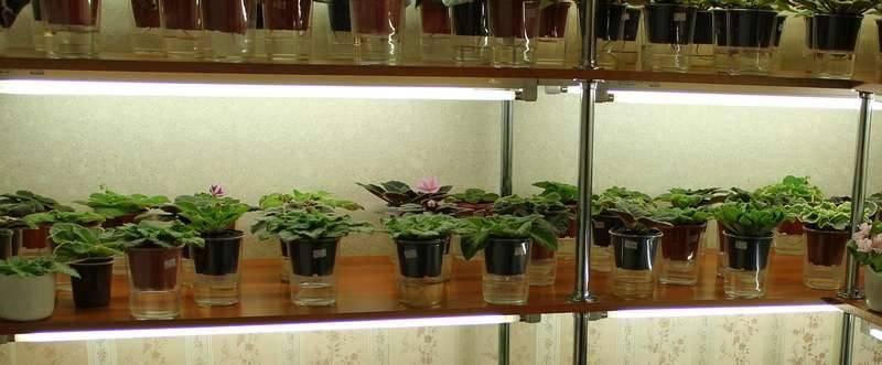 Фитильный полив фиалок — стоит ли перевести цветок на новый вид