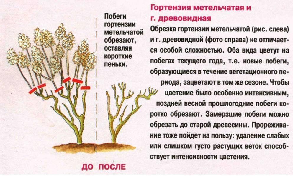 Гортензия метельчатая: посадка и уход в открытом грунте, обрезка весной, а также размножение черенкованием