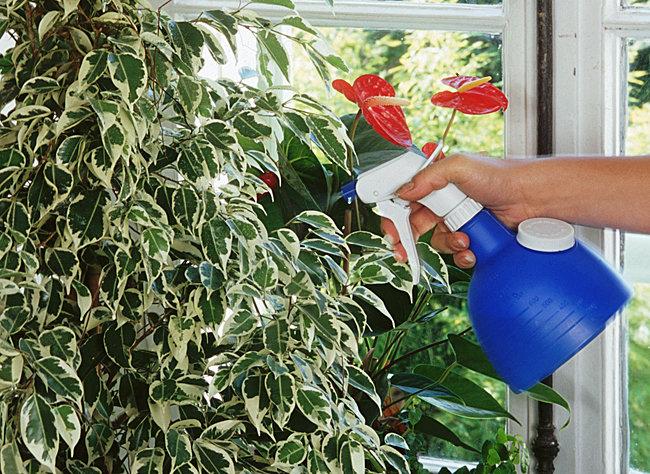 Как поливать герань в домашних условиях зимой?