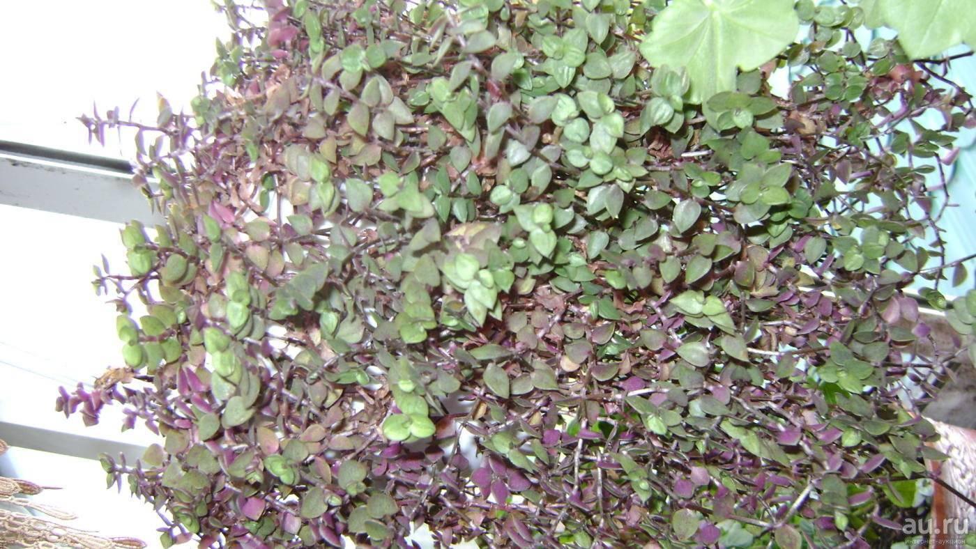 Растение каллизия: фото и уход в домашних условиях
