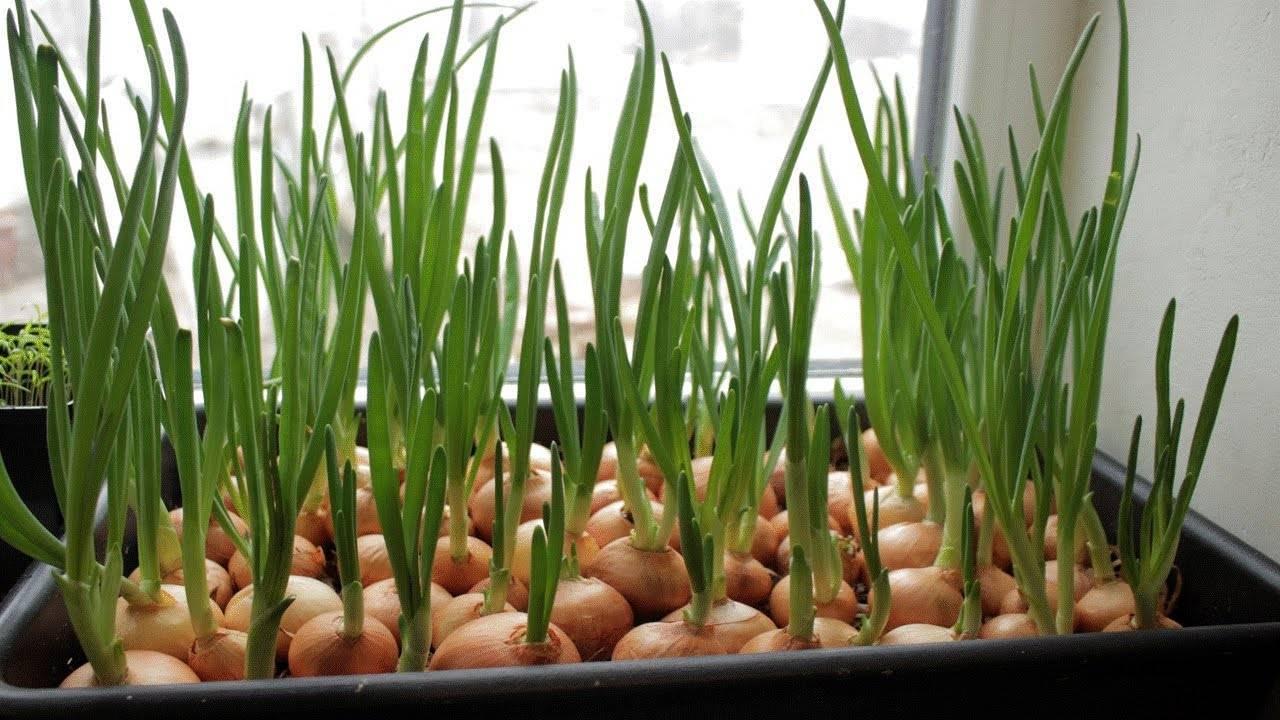 Лечебные свойства индийского лука и правила применения сока этого ядовитого растения