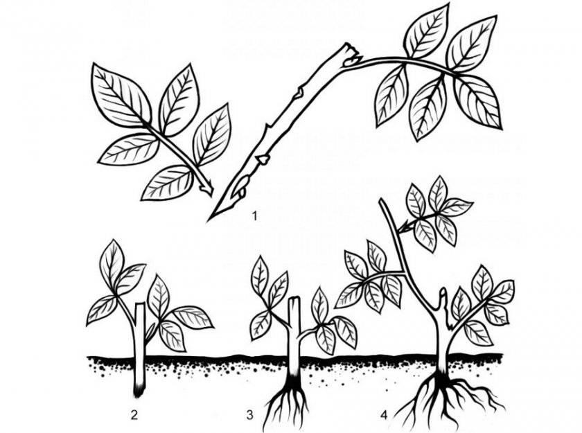 Как выращивать мальву: описание, распространение, особенности посадки и ухода, фото