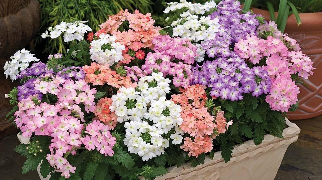 Цветок вербена: фото, аромат, полезные свойства и противопоказания
