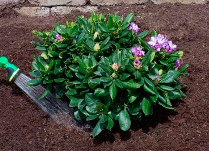 Почему у рододендрона сохнут листья: поиск причин и способы лечения