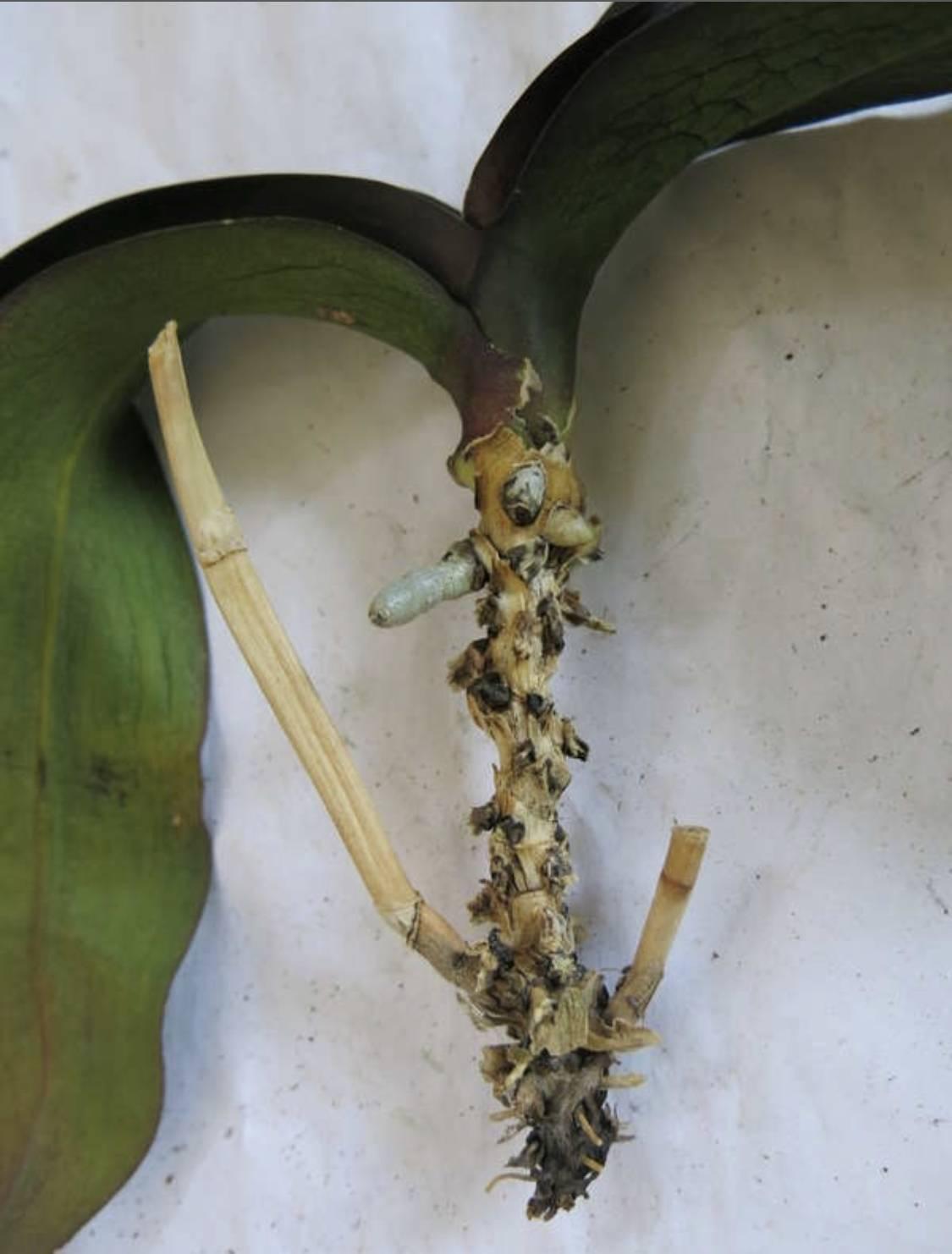 Способы, как отделить детку орхидеи, и дальнейший уход за материнским растением и отростком