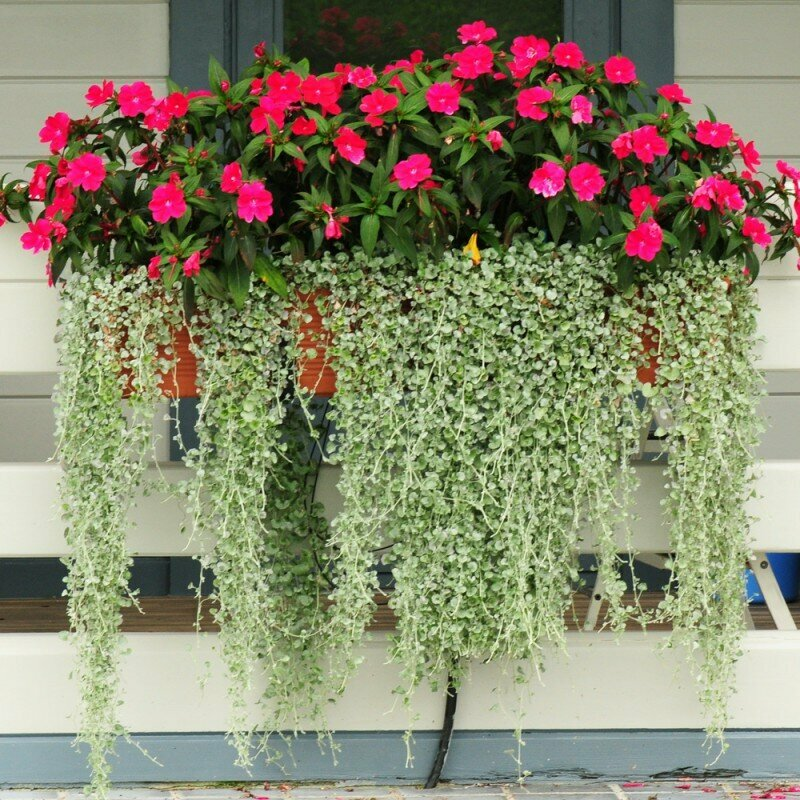 Дихондра ампельная — выращивание из семян в домашних условиях