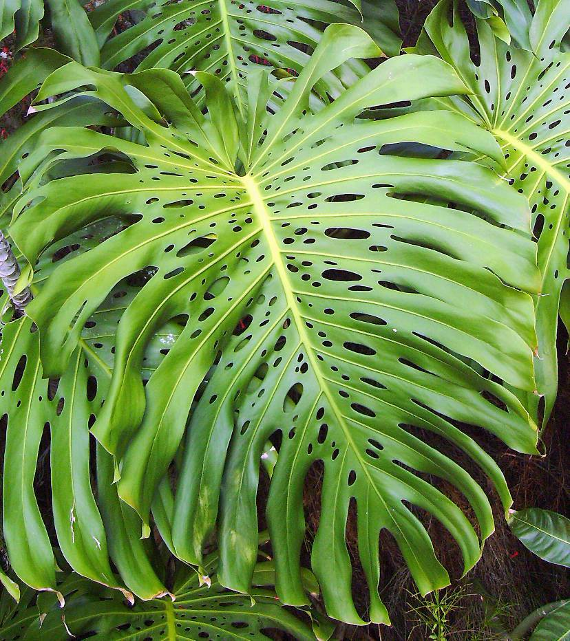 Монстера: уход и размножение в домашних условиях, как пересадить растение, виды цветка с фото и названиями + видео