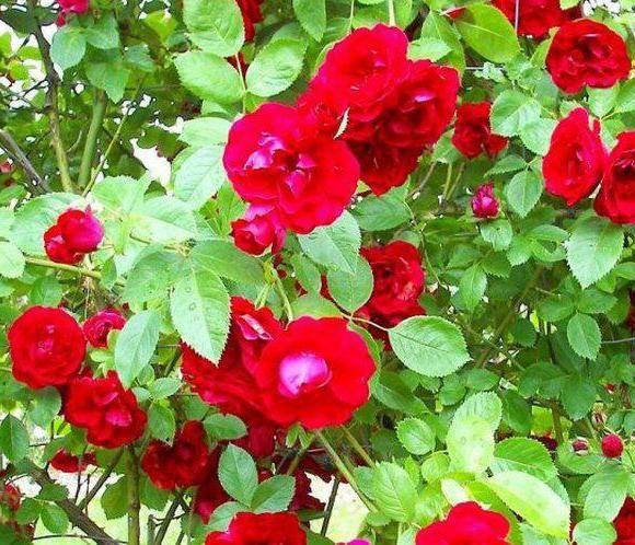 Болезни плетистых роз и их лечение народными методами и фунгицидами