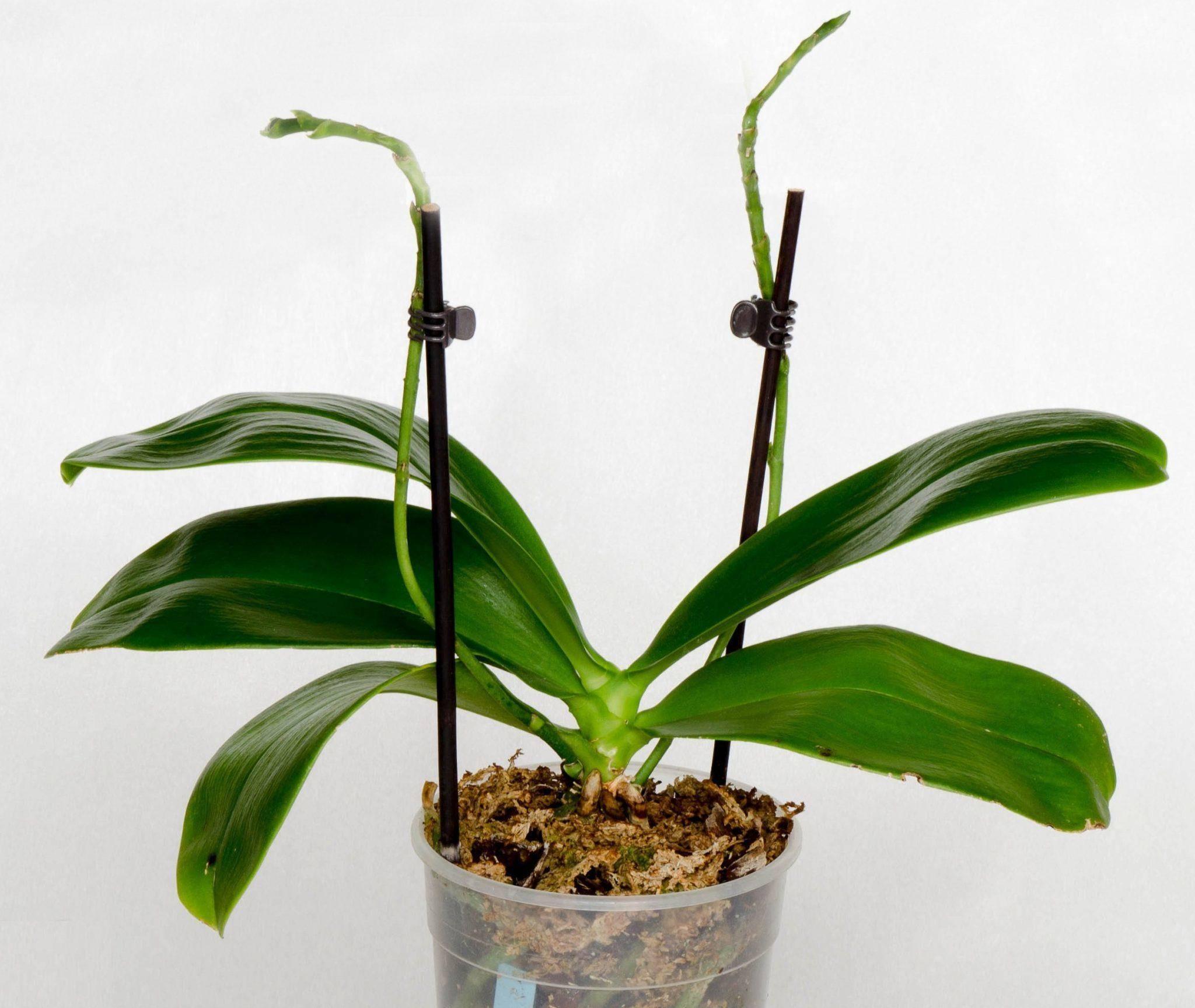 Фаленопсис отцветает, что делать дальше со стрелкой орхидеи, когда обрезать, как обеспечить правильный уход за растением в домашних условиях после распускания?