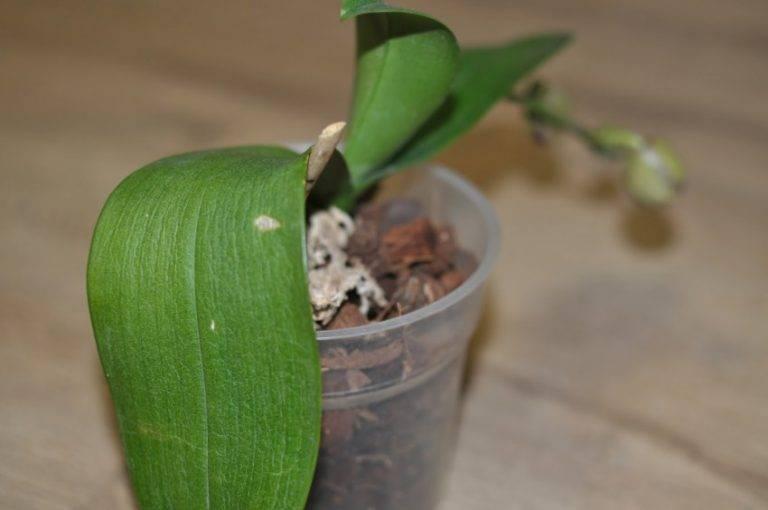 Листья орхидеи потеряли тургор и морщинятся: что делать для восстановления - pocvetam.ru