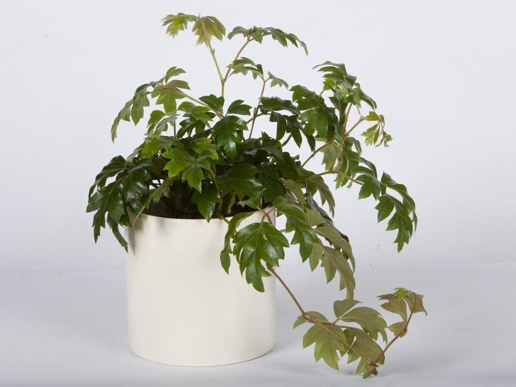Березка - комнатное растение