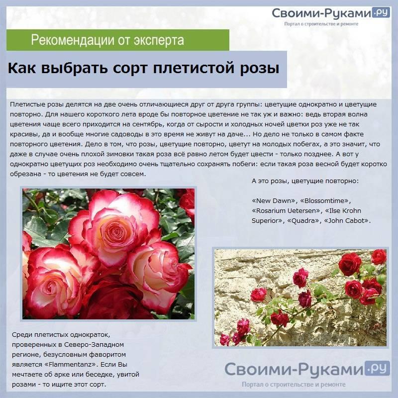 Роза найт оул (night owl) — описание плетистого клайминга